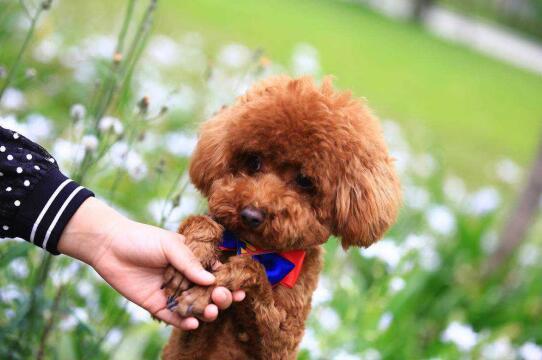 喂养泰迪犬的时候以下食物绝对不能给它吃