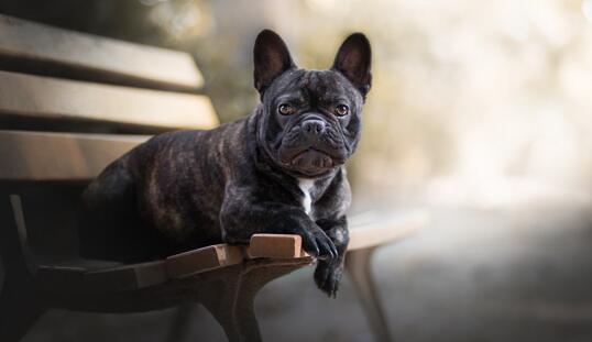 萌新第一次养法国斗牛犬有什么需要注意呢?建议收藏