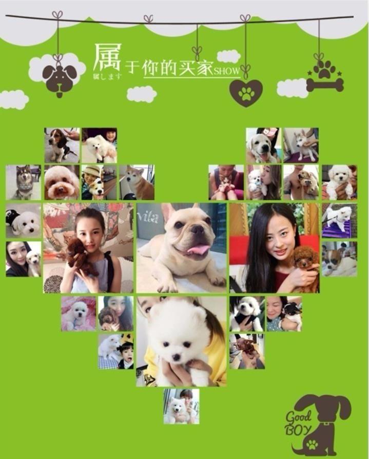 澳版萨摩耶犬幼犬出售 微笑天使聪明温柔好驯养11