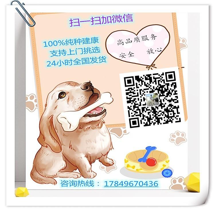纯种茶杯犬幼崽,保证血统纯度,签订正规合同5