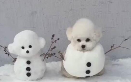在这么多小型犬中,为什么比熊犬这么受大众欢迎呢