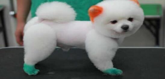 """被冠以""""白富美""""的比熊犬要不要养一只呢?"""