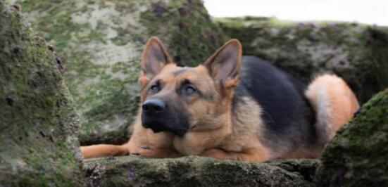 高大威猛而又俊朗的德国牧羊犬要不要养一只?