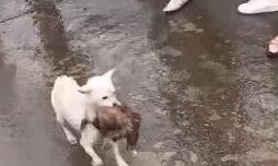 伟大的母爱!狗妈妈冲进洪水中救出被困狗宝宝!