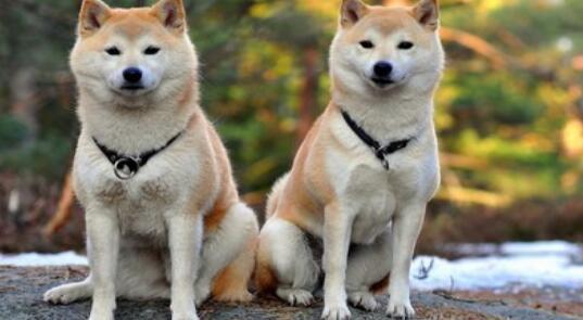 如何预防秋田犬患上皮肤病,看了后一定要重视哦