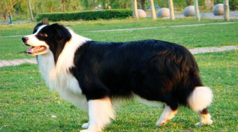 世上最聪明的狗狗边境牧羊犬真的可以有