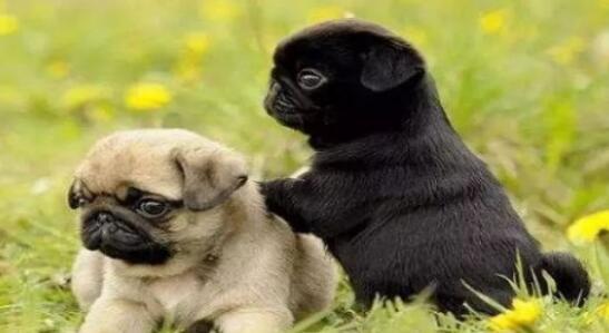 想养好巴哥犬,在过程中要注意这几点,来看看吧