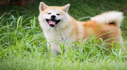 养好秋田犬就得学会给它正确洗澡,来看看吧