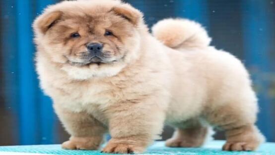 具有可爱外表的松狮犬也可以当宠物