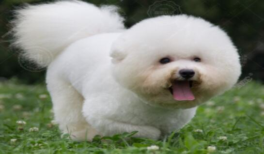 """比熊犬是""""傻白甜""""还是""""白富美""""呢?看了就有判断了"""