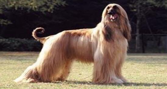 狗中贵族阿富汗猎犬好漂亮哦,看了就不舍得了