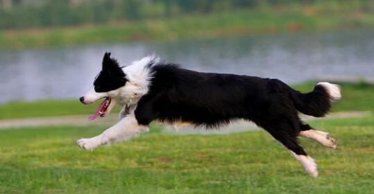 购买一只纯种的边境牧羊犬得花多少钱