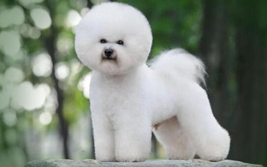 养小型犬比熊在日常毛发护理上,有什么需要注意的呢