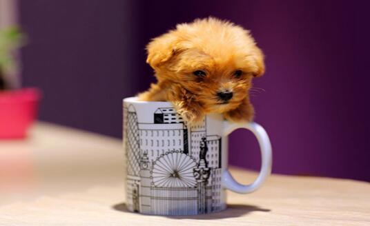 能萌翻你的茶杯犬要不要养一只呢?