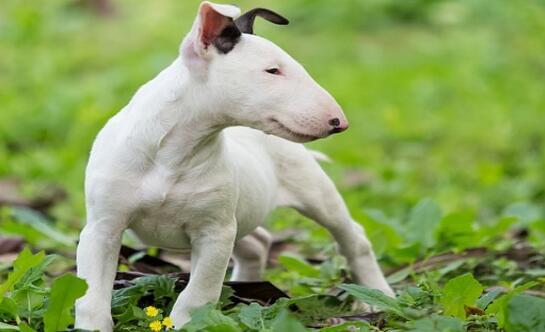 想养只牛头梗犬,可抱回家后总觉得在养一头牛
