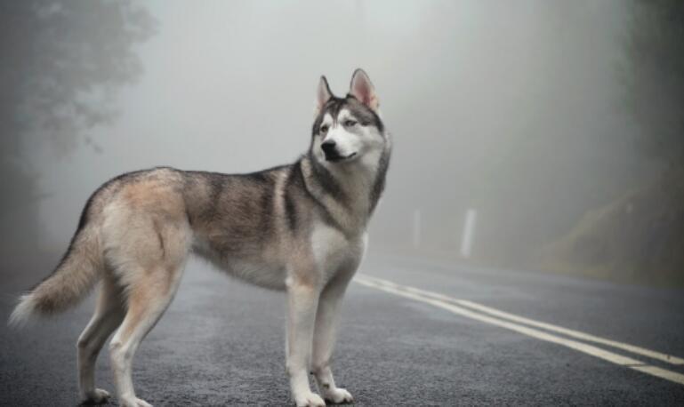 你知道哈士奇有狼的血统吗?怪不得它看上去那么象狼呢
