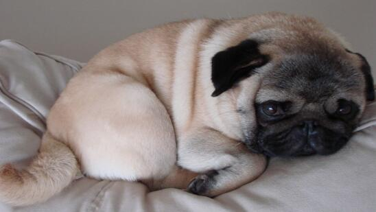 可爱的巴哥犬也是有缺点的,就看你如何对待了