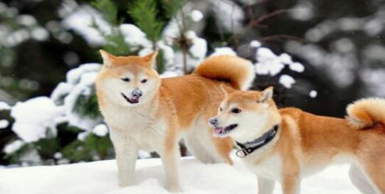 看到秋田犬的笑容,会让你忘掉生活中的不如意