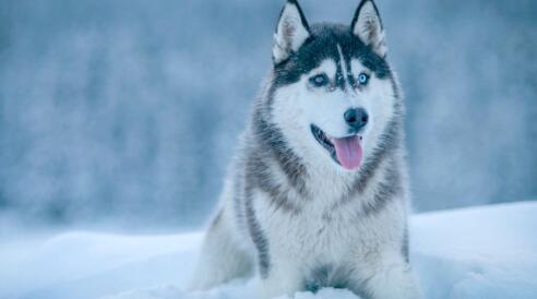 哈士奇有狼的血统,怪不得长得那么威风