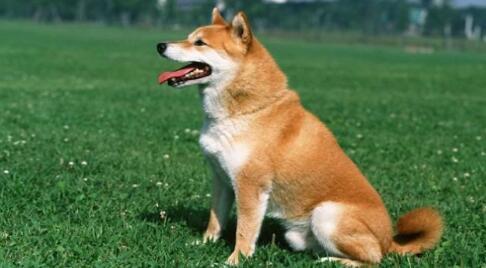 想养秋田犬的人都看过来了,这真的是一只好狗狗