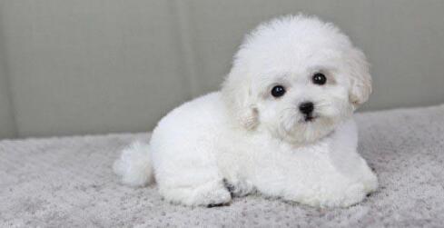 萌萌的小泰迪其实是一只猎犬呢,真的好神奇呀