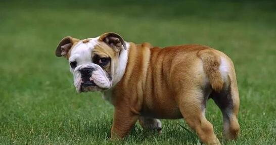 不走寻常路,那就养只丑丑的英国斗牛犬吧