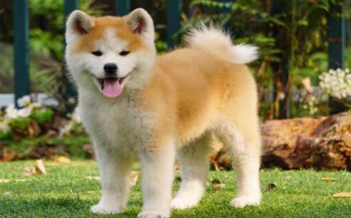 能当小孩子保姆的狗狗---秋田犬