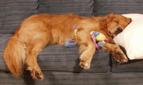 金毛犬很喜欢和主人一起睡觉,但是不行,来看看原因吧