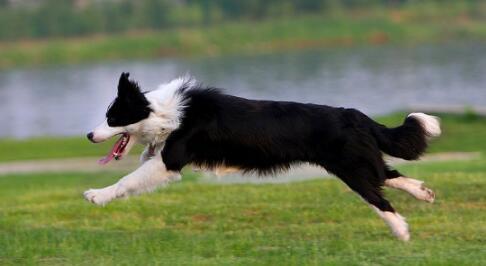 边境牧羊犬缺钙症状有哪些,该如何补钙
