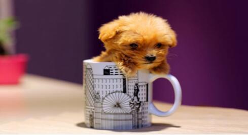 让人怜惜的茶杯犬该如何来照顾呢