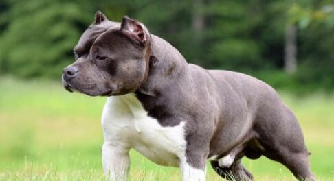 狗的温柔与否与长相无关,比如美国恶霸犬