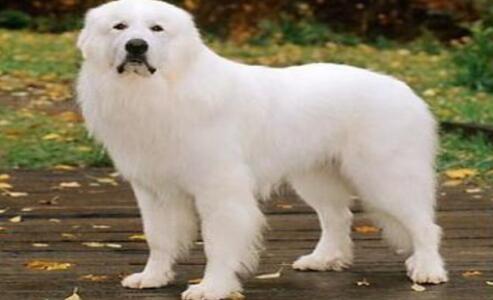 可爱的大白熊犬打嗝打的停不下来,该怎么办呢