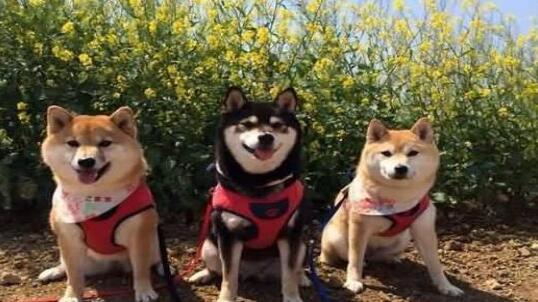 曾经的猎犬---秋田犬也是很威风的