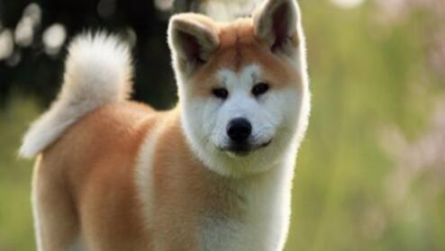 帮助秋田犬消化的方法有哪些,快来试一试吧