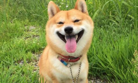 想养狗狗就养一只低调而又实用的柴犬吧