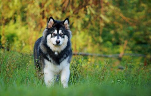 阿拉斯加犬最近几天总是咳嗽,来看看原因吧