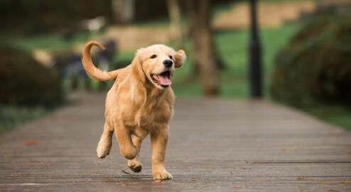 暖男型狗狗金毛为什么总是爱去泥坑里打滚呢