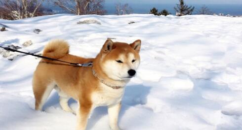 秋田犬看似普通,实则有许多你不知道的优点