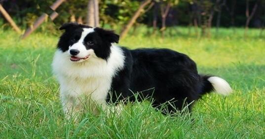 边境牧羊犬掉毛掉得好可怜呀,什么原因导致的?