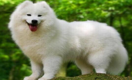 人类忠实的伙伴萨摩萨摩犬,你了解多少