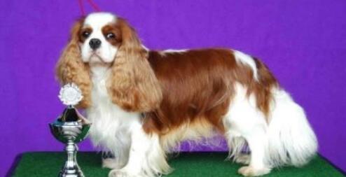 也长得一对大耳朵的查理王猎犬却有一个很小的胆子
