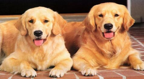 哪些食物对金毛寻回犬有美发效果呢?
