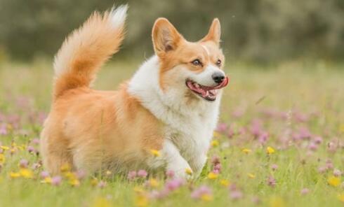 柯基犬没有尾巴的原因原来是这样的