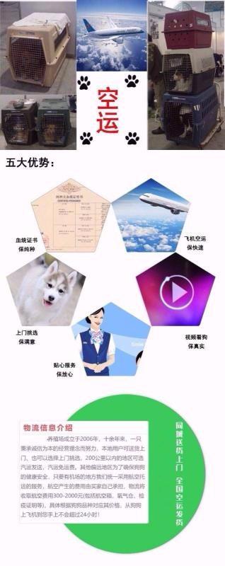 家养极品武汉阿拉斯加雪橇犬促销中高品质售后有保障9