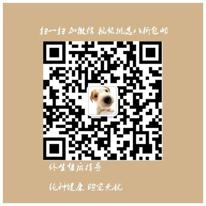 犬业出售品质优良血统纯正石家庄泰迪熊幼犬12