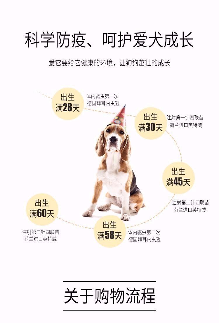 贵阳出售颜色齐全身体健康美国斗牛犬可刷卡可视频8
