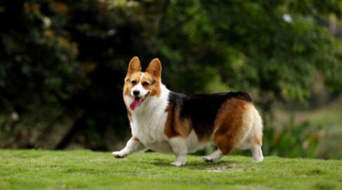 短腿柯基是一只值得拥有的狗狗,你想要吗?