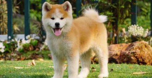 长相并不出奇的秋田犬为什么会有那么多人喜欢呢?