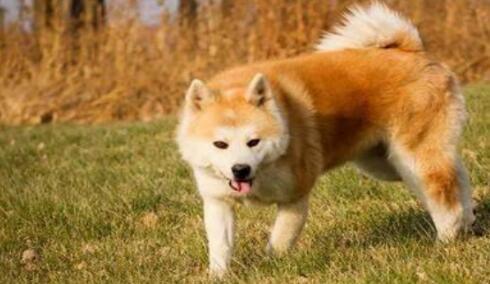 有悠久历史的秋田犬真的很惹人喜欢,来看看原因吧