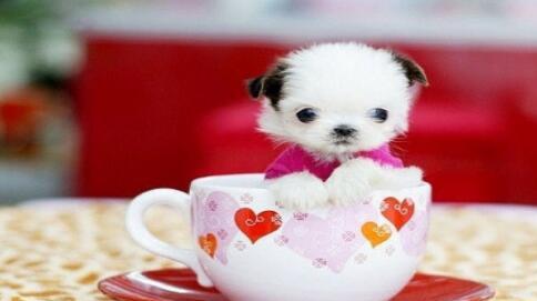 小小的茶杯犬值得拥有更多的爱惜